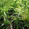 冬の家庭菜園は忙しくないようで忙しい【長ネギ】の土寄せと【水菜】の植え付け