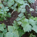 冬の家庭菜園【ミツバ】増殖と旬を迎える?【ブロッコリー】の成長