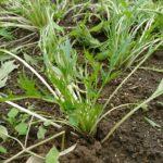 冬の家庭菜園 まだまだ大丈夫【水菜】追加と【種まき機】はエコで優れものだった