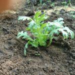 冬の家庭菜園 初心者の作る【ホウレンソウ】の収穫と種まき・・初心者がさらに初心に返るには