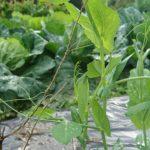 冬の家庭菜園 草取りも野菜作りに欠かせない作業なのだ