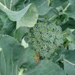 冬の家庭菜園、冬野菜の収穫と厳しかった12月の発芽