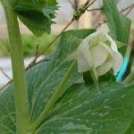 冬の家庭菜園 冬野菜の成長、春を待たずに咲くエンドウに寒波がやって来る。