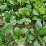 冬の家庭菜園・野菜の様子と収穫、今年の予定は?