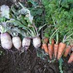 家庭菜園ふゆ野菜の収穫と保存、がら空きの畑は春まで休養させよう