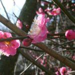 春のおでかけ、梅まつりが始まったよ千葉県袖ケ浦公園