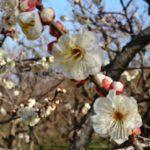 2019水戸の梅まつり、春を告げる梅の名所【偕楽園】快晴の休日ドライブは最高だった