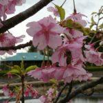 春のおでかけは千葉県袖ケ浦公園【梅まつり】の続き。梅の咲き具合は?まだ楽しめそう!春の花が次々と。