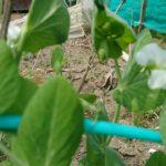家庭菜園、トウモロコシの種まき。手作り虫よけの効果は?アオムシ発見!