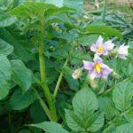 5月の家庭菜園。野菜の様子と酢玉ねぎ作りと手作り<お酢の虫よけ>第二弾仕込み。