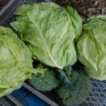 家庭菜園でタマネギ撤収、キャベツの収穫と反省点。カボチャの受粉をやってみた。