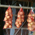 タマネギの保存とニンジンの種まき。初めてのタイ茄子作り①種まきまで。