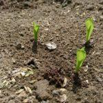 家庭菜園 今年はがっちり!トマトの支柱立てとトウモロコシの発芽。野菜の様子
