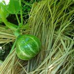 新じゃが収穫間近にジャガイモの実を発見。食べられるの?早っ!野菜の成長の様子。