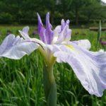 千葉県袖ケ浦公園で【花菖蒲祭り】開催間近☆一足先に見てきました。気になる咲き具合は?