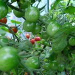 日照不足で野菜高騰!?家庭菜園の夏野菜、収穫もストップ。枯れたキュウリは植え直しか?