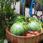 夏の家庭菜園。スイカの収穫、同じスイカなのに甘味が均等じゃないのはなぜ?