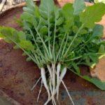 家庭菜園11月。玉ねぎの植え付けと秋冬野菜の様子&お酢の虫よけ効果は?