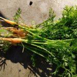 家庭菜園の冬野菜。白菜、キャベツの結球、害虫被害は?小松菜やっと収穫