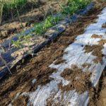 家庭菜園の春。今年はスーパー爺ちゃんとジャガイモの植え付けからスタート