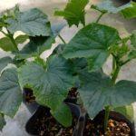 家庭菜園は癒し★夏野菜の【種まき】と【苗の植え付け】と【ソラマメの様子】