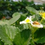 収穫が待ち遠しい家庭菜園の【葉物野菜】と、この時期初の【いちご狩り】体験