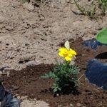マリーゴールドは優秀なコンパニオンプランツ☆☆☆夏野菜の畝に植えてみた。&追加の種まきトウモロコシとエダマメ