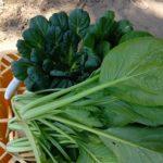 家庭菜園のミニトマト。雨に濡らしたくない!ビニールハウスの代わりの雨除け作り&収穫