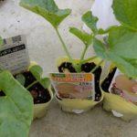 今年の夏はメロンに挑戦。コンパニオンプランツと一緒に植え付け&畑の片付け
