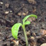 【タイ茄子作り】⑤廃棄寸前で、本葉発見!!育苗ポットに移植。