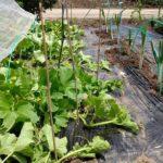 家庭菜園でメロン作り☆メロンスペースに黒マルチ&コンパニオンプランツを追加