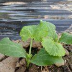 家庭菜園で冬野菜の前に。【初めてのズッキーニ】①秋栽培にチャレンジ!灼熱の畑に種まきした結果。