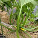 家庭菜園で【初めてのズッキーニ】②秋栽培にチャレンジ!あっという間に倒れてる?追肥と支柱たて