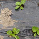 冬野菜の種まき。課題は【小さな畑で密を避けた野菜作り】ニンジン・大根・葉物野菜・ブロッコリー