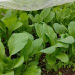小松菜の収穫とタマネギの植え付け&冬野菜の様子