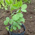 サヤエンドウの植え付けとニンジンの間引き菜美味しい菜