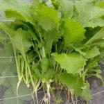 11月の家庭菜園。ニンジン踏み踏み栽培とカブ・タアサイの間引き&タマネギ中生植え付け